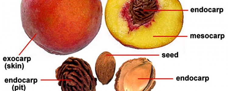 anatomy-of-a-peach